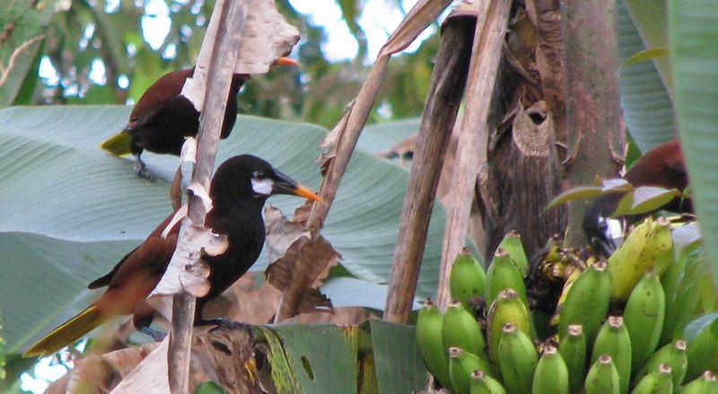 Finca Luna Nueva - Montezuma Oropendolas Feeding On Bananas
