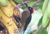Finca Luna Nueva - Black-cheeked Woodpecker Female