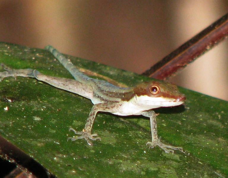 Finca Luna Nueva - Lizard On Rainforest Trail