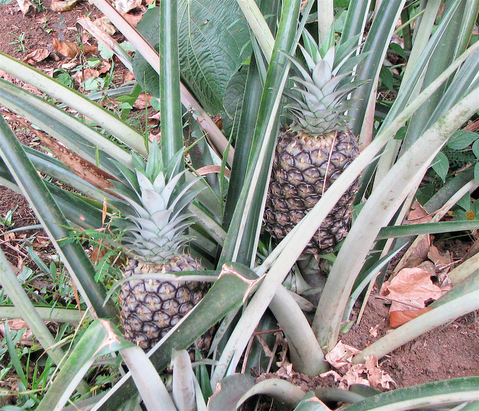 Finca Luna Nueva - Pineapples Growing In The Garden Area