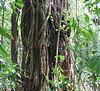 Finca Luna Nueva - A Strangler Fig Parasite Taking Over A Tree<br> In the Costa Rican rainforests, you may commonly see extremely old trees that seem to have been consumed by a vine which is known as the Strangler Fig Parasite.  This parasite comes when an infected bird poops on top of the tree.   The parasite then forms vines that grow down the tree to the root system.  Once at the tree's roots, the parasite takes over and slowly kills the tree, but the vines are left in it's place.  The vines of the parasite become very large and very strong, almost tree like.   This tree already has a termite nest in it to help the process along (notice the black area center right).