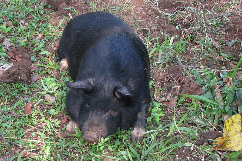 Finca Luna Nueva - Clean Big Piggie Hangs Out With The Goats