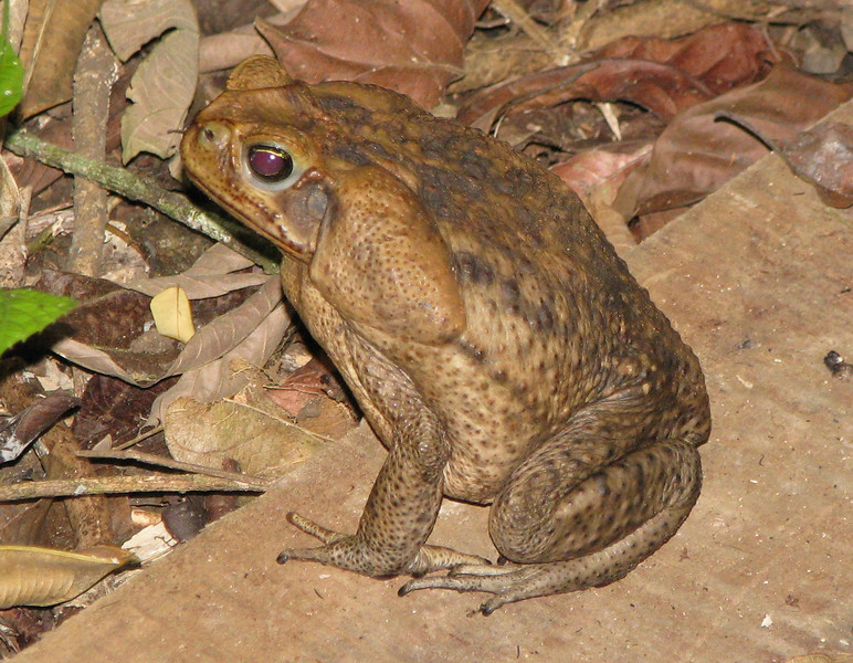 Finca Luna Nueva - Marine Toad On Paved Trail