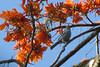 Finca Luna Nueva - Blue-Gray Tanager In Poro Gigante Tree Which Is All Flowers