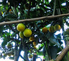 Homestay Garden - Orange Tree