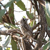 Pacific Screech-Owl (adult)