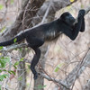 Mantled Howler Monkey chilling out