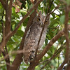 Pacific Screech-Owl (juvenile)