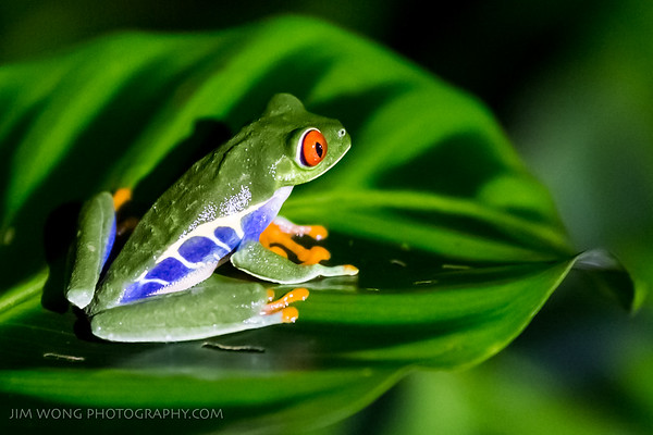 Red-eyed leaf frog, La Fortuna