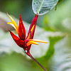 Heliconia with rare large sepal, Arenal