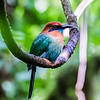 Broad-billed motmot, Arenal