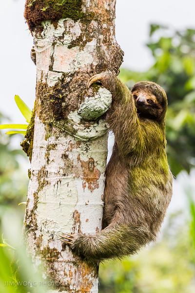 Three-toed sloth, La Fortuna