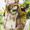 Three-toed sloth, La Fortuna
