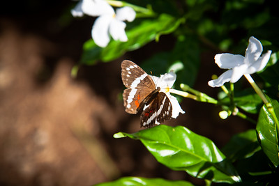Butterfly -- Costa Rica
