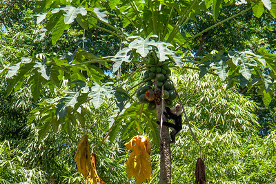Monkey Going After A Papaya --Costa Rica
