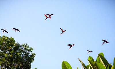 Scarlet Macaws -- Costa Rica