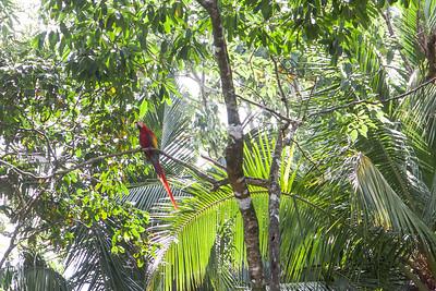 Scarlet Macaw -- Costa Rica