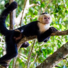 Capuchin monkey, Manuel Antonio