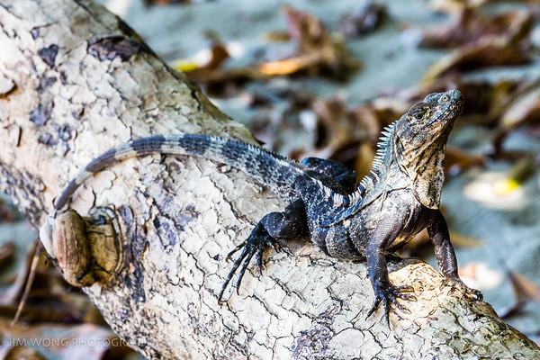 Black ctenosaur, Manuel Antonio
