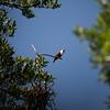 Three-wattled Bellbird (male)