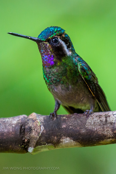 Purple-throated mountain gem, Monteverde