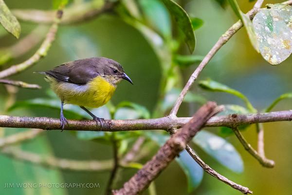 Flycatcher, Monteverde