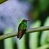 Poas Volcano National Park, 6th January 2017: Coppery-headed Hummingbird