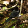 Poas Volcano National Park, 6th January 2017: Yellow-thighed Finch 2