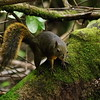 Poas Volcano National Park, 6th January 2017: Neotropical Montane Squirrel 1