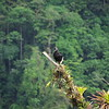 Poas Volcano National Park, 6th January 2017: Black Vulture