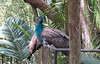 ZooAve - Perching Peacocks Saying Goodbye