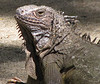 ZooAve - Green Iguana Is As Interested In Me As I Am In Him