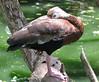 ZooAve - Sleeping Black-bellied Whistling Duck_2