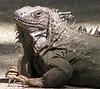 ZooAve - Green Iguana