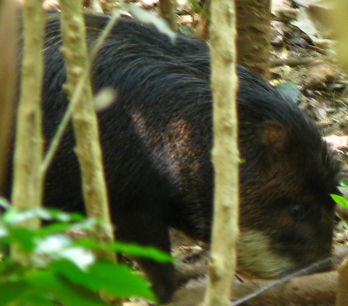 ZooAve - White-lipped Peccary