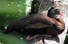 ZooAve - Sleeping Black-bellied Whistling Duck