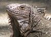 ZooAve - Green Iguana Closeup