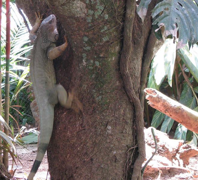 ZooAve - Green Iguana Climbing Tree by Lagoon