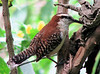ZooAve - Rufous-naped Wren