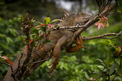 While traveling north through Costa Rica in late January we photographed several beautiful male iguanas in their breeding color when we stopped at a rest-stop on the way to Boca Tapada.  We were amazed at how many were hanging out (literally) in the nearby trees and their amazing color in the warm afternoon light.