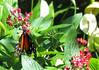 San Jose Butterfly Garden - Passionflower Butterfly_4