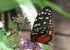 San Jose Butterfly Garden - Passionflower Butterfly