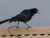 Homestay View Through Window - Male Great-tailed Grackle_2