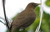 Homestay Garden - Clay-colored Robin