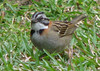Homestay Garden - Rufous-collared Sparrow_5