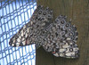 San Jose Butterfly Garden - Variable Cracker