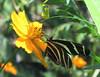 San Jose Butterfly Garden - Zebra Longwing