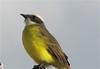 Parque La Sabana - Social Flycatcher_2