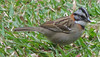 Homestay Garden - Rufous-collared Sparrow_7
