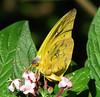 San Jose Butterfly Garden - Orange-barred Sulphur